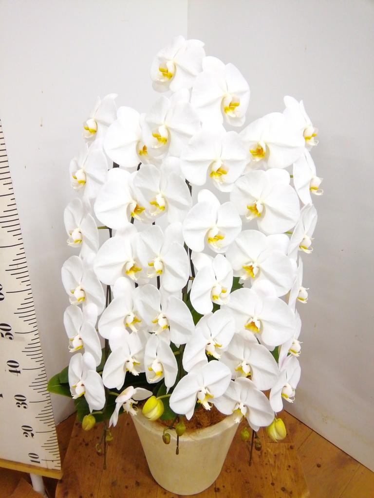 胡蝶蘭大輪 白 3本立ち 40輪〜45輪前後 フォリオソリッド クリーム 付き