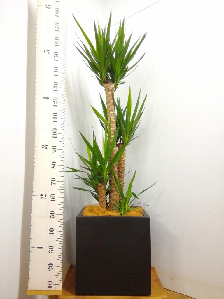観葉植物 ユッカ 10号 ノーマル ベータ キューブプランター 黒 付き