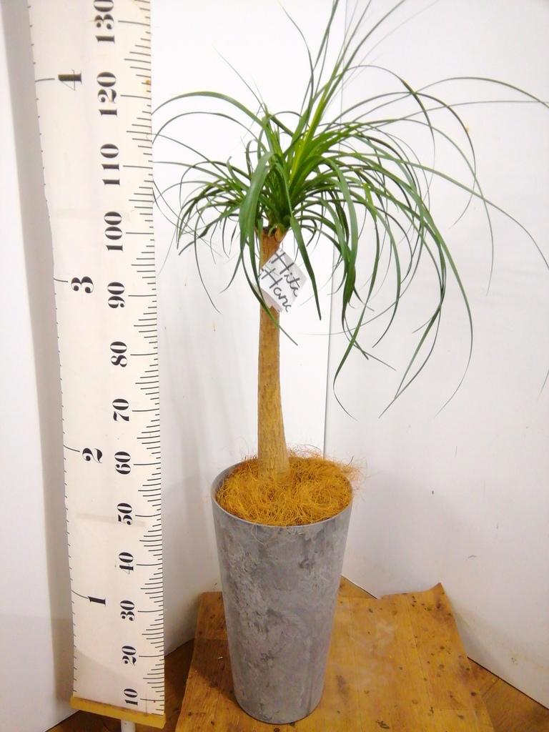 観葉植物 【100cm】 トックリラン 8号 #23144