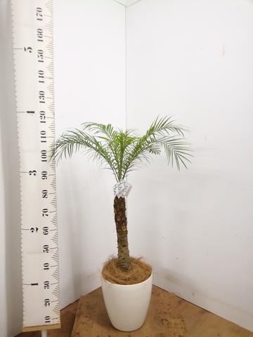 観葉植物 【120cm】 フェニックスロベレニー 8号 #23360 ※1都3県配送限定商品