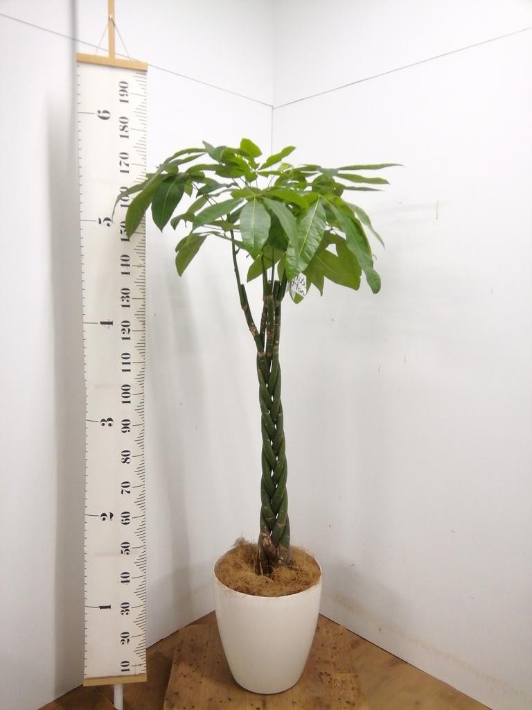 観葉植物 パキラ 10号 ねじり ラスターポット 付き