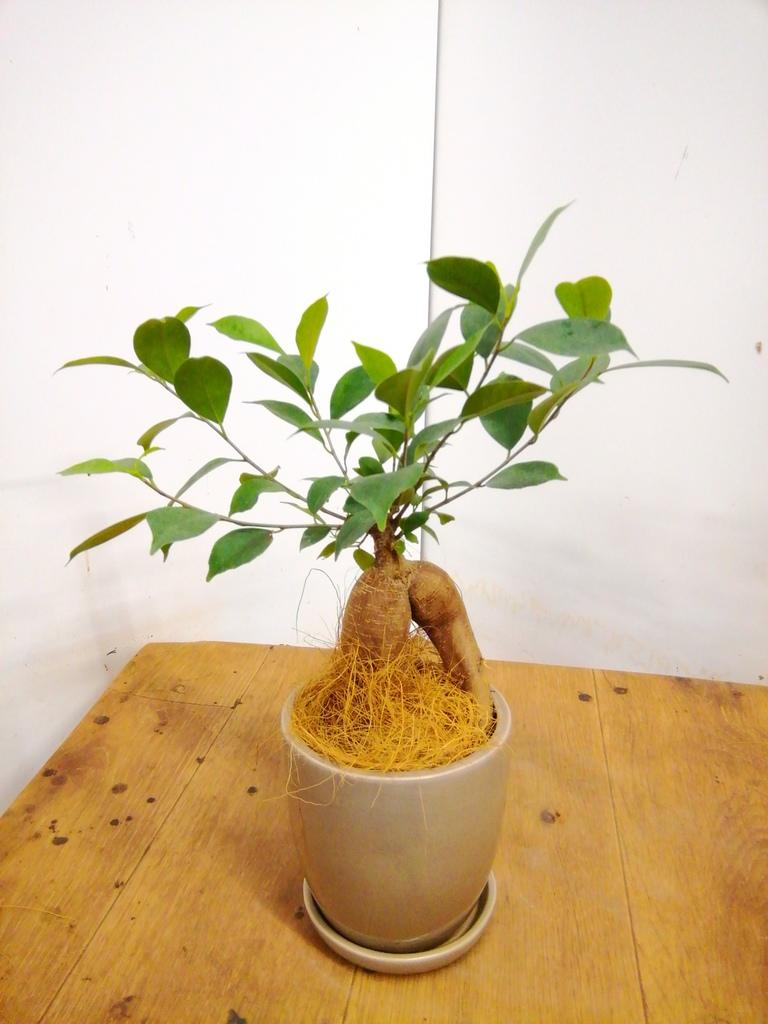 観葉植物 ガジュマル 4号 股仕立て アステア トール ベージュ 付き