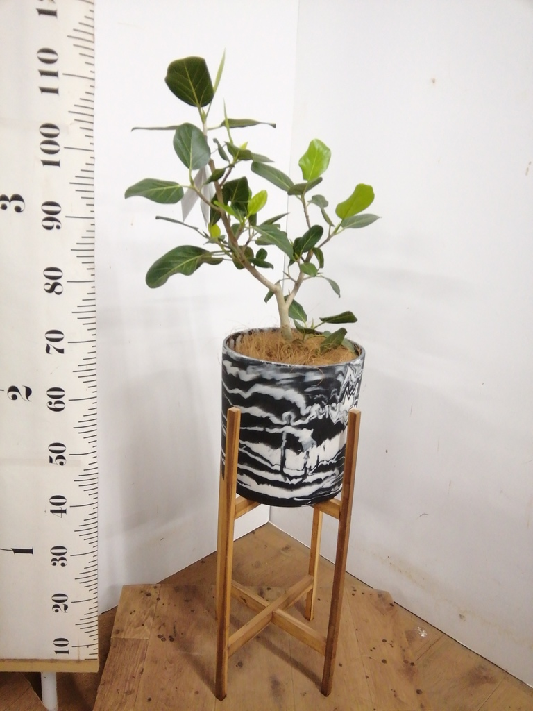観葉植物 フィカス ベンガレンシス 6号 ストレート ホルスト シリンダー マーブル ウッドポットスタンド付き