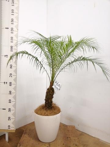 観葉植物 【110cm】 フェニックスロベレニー 8号 #23357 ※1都3県配送限定商品