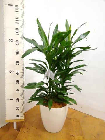 観葉植物 【110cm】 ドラセナ グローカル 8号 #23351