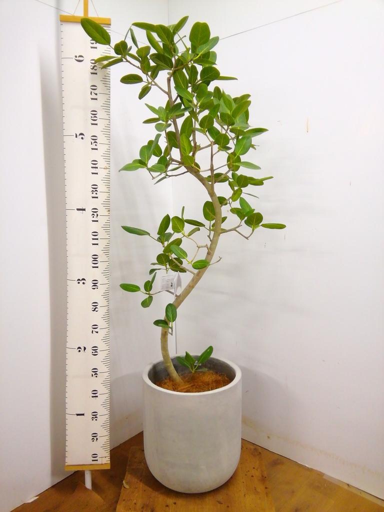 観葉植物 フィカス ベンガレンシス 10号 曲り エルバ 白 付き