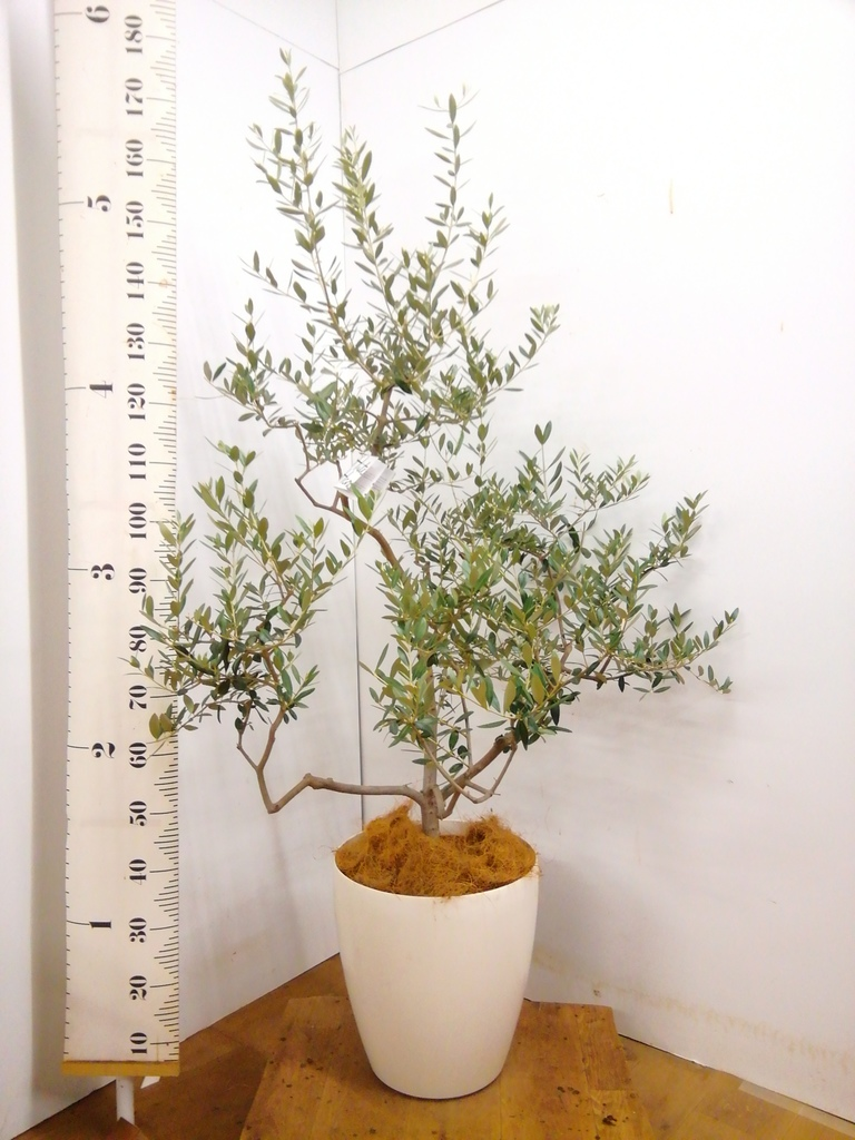 観葉植物 オリーブの木 10号 レッチーノ ラスターポット 付き