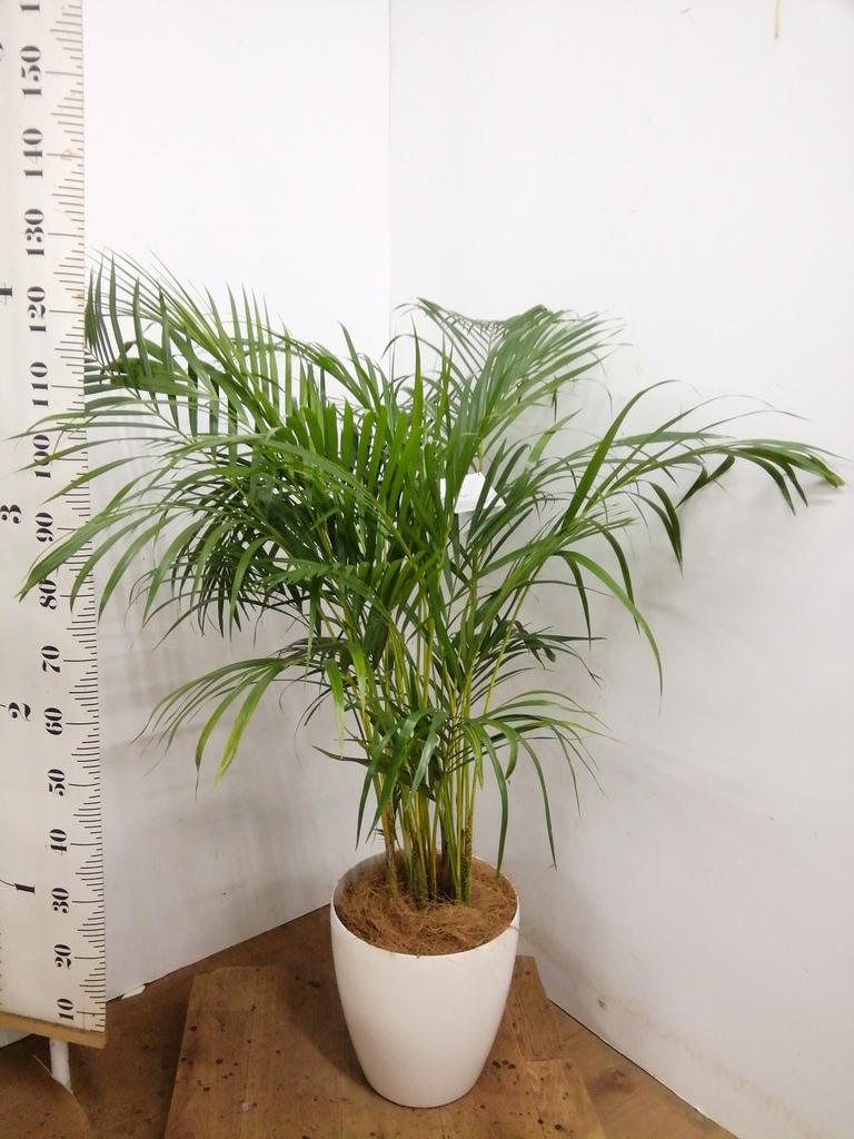 観葉植物 アレカヤシ 8号 ラスターポット 付き