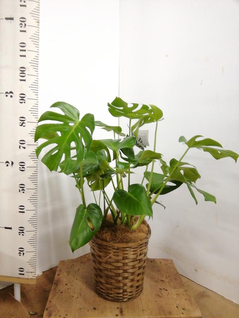 観葉植物 モンステラ 8号 ボサ造り 竹バスケット 付き