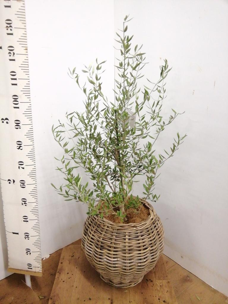 観葉植物 オリーブの木 8号 コロネイキ グレイラタン 付き