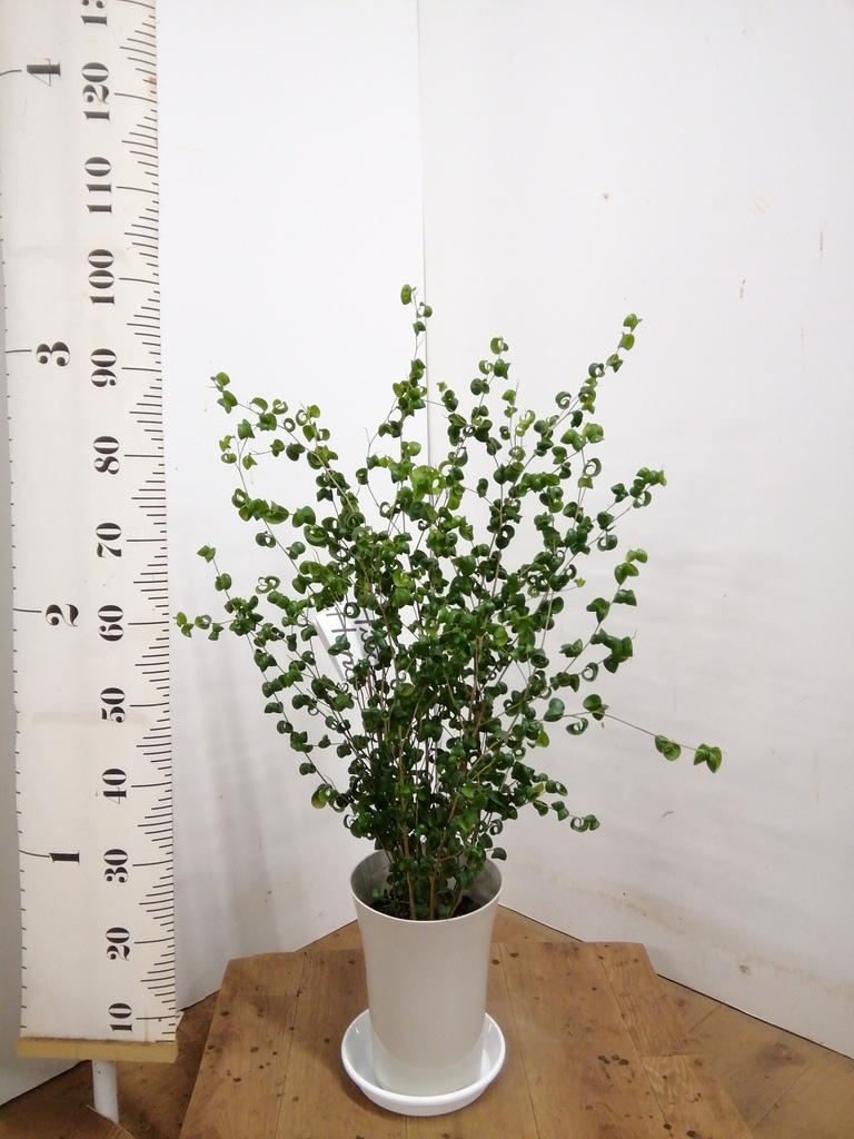 観葉植物 フィカス ベンジャミン 7号 バロック プラスチック鉢