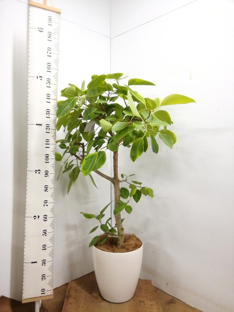 観葉植物 【150cm】 フィカス アルテシーマ 10号 #23334 ※1都3県配送限定商品