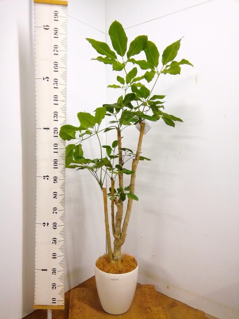観葉植物 【155cm】 ブラッサイア8号 #23327 ※1都3県配送限定商品