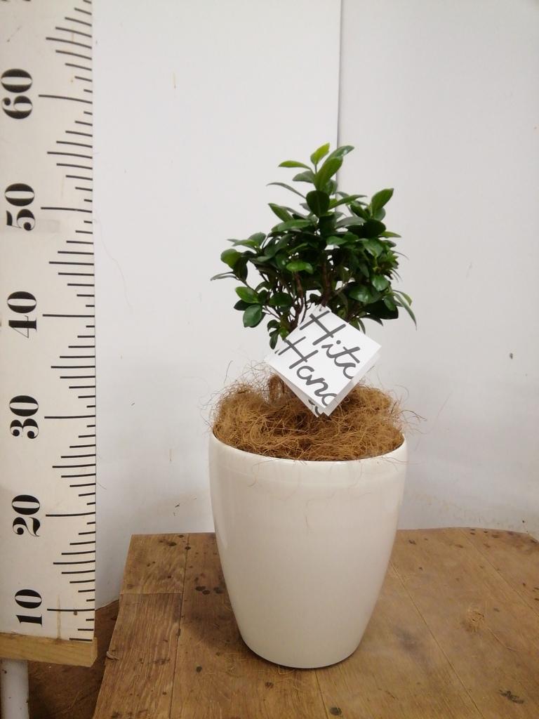 観葉植物 ガジュマル 6号 股仕立て ラスターポット 付き