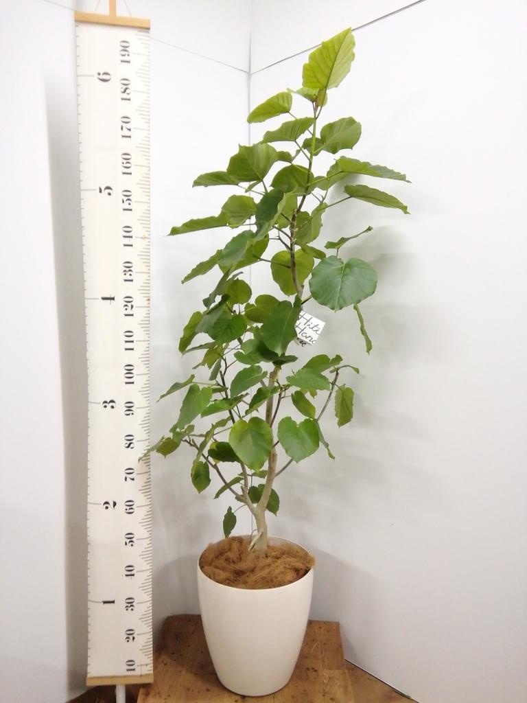 観葉植物 【170cm】 フィカス ウンベラータ 10号 #23239