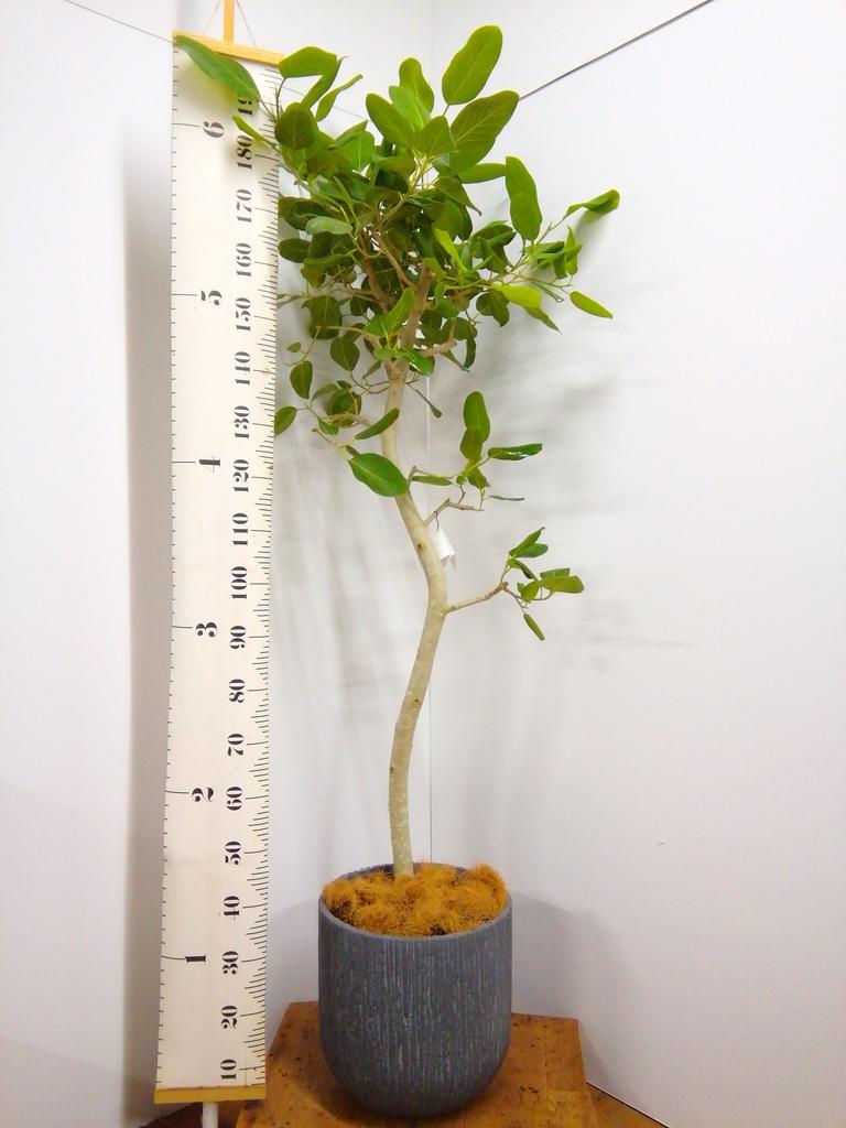 観葉植物 フィカス ベンガレンシス 10号 曲り カルディナトールダークグレイ 付き