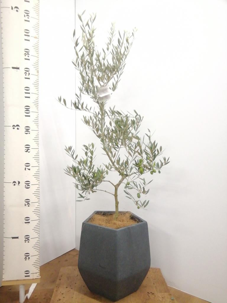 観葉植物 オリーブの木 8号 オヒブランカ ファイバークレイ Gray 付き