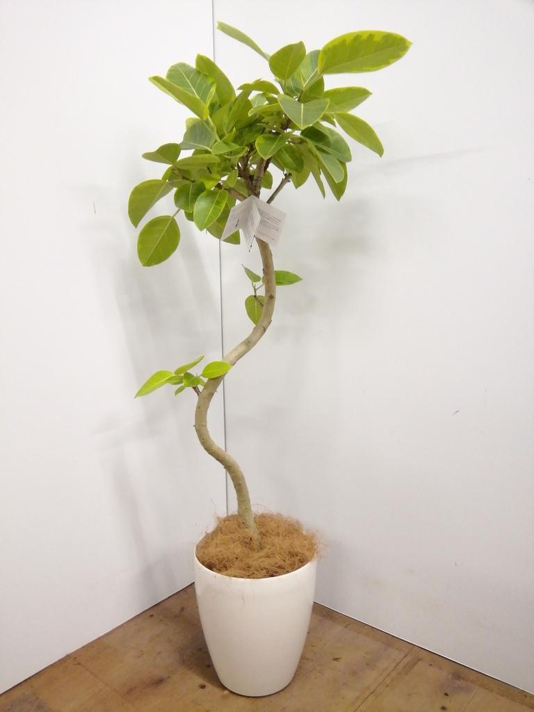 観葉植物 フィカス アルテシーマ 【135cm】 フィカス アルテシーマ 7号 #23599 ラスターポット付き