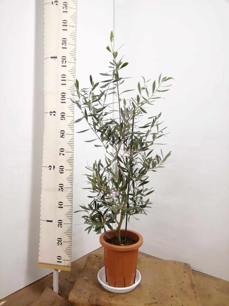 観葉植物 オリーブの木 8号 チプレッシーノ プラスチック鉢