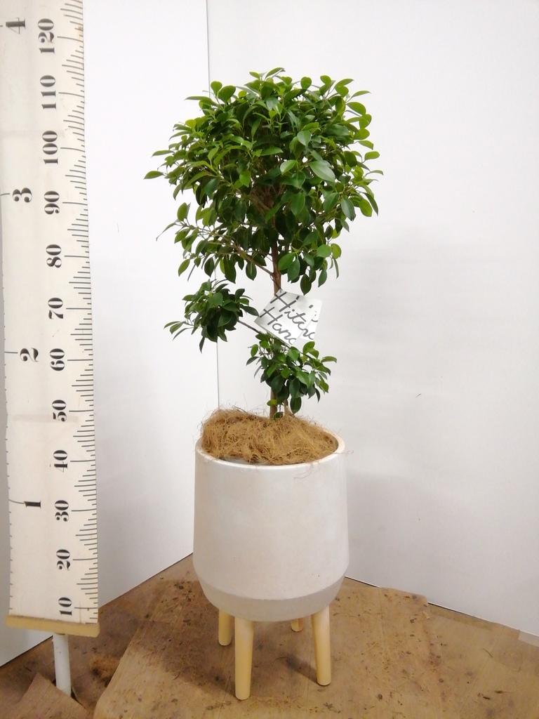 観葉植物 フィカス ナナ 7号 ノーマル ファイバークレイ white 付き