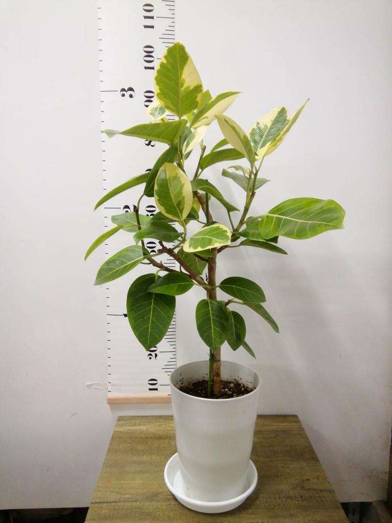 観葉植物 フィカス アルテシーマ 7号 ストレート プラスチック鉢