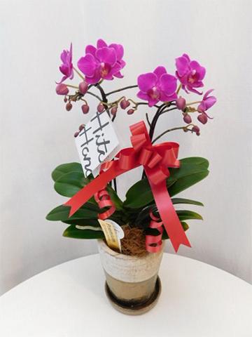 ミディ胡蝶蘭 ピンク 2本立ち ゴールドクラック鉢付き