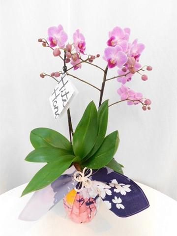 ミディ胡蝶蘭 ピンク 2本立ち 風呂敷包み