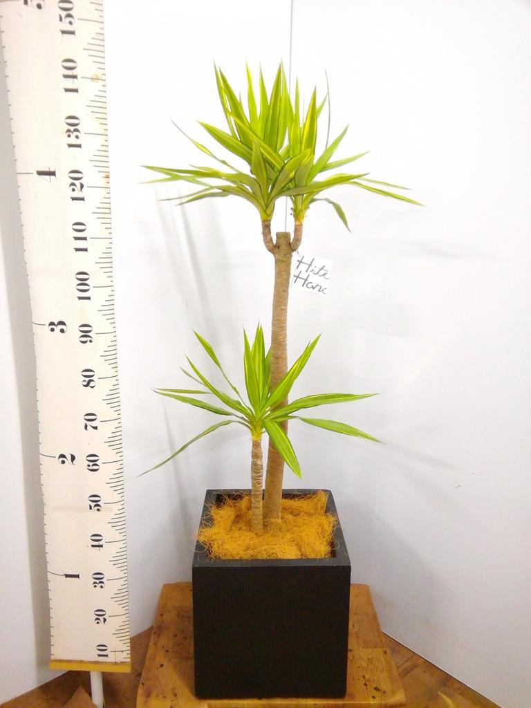 観葉植物 ユッカ 8号 斑入り ベータ キューブプランター 黒 付き