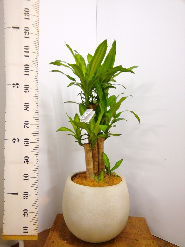 観葉植物 ドラセナ 幸福の木 8号 ノーマル テラニアス ローバルーン アンティークホワイト 付き