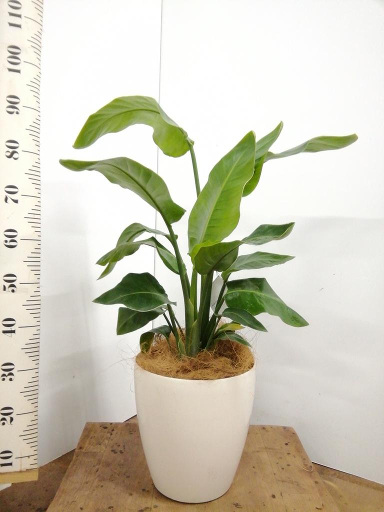 観葉植物 オーガスタ 8号 ラスターポット 付き
