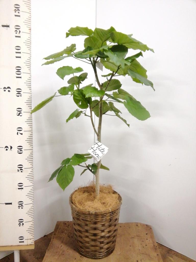 観葉植物 フィカス ウンベラータ 8号 ノーマル 竹バスケット 付き