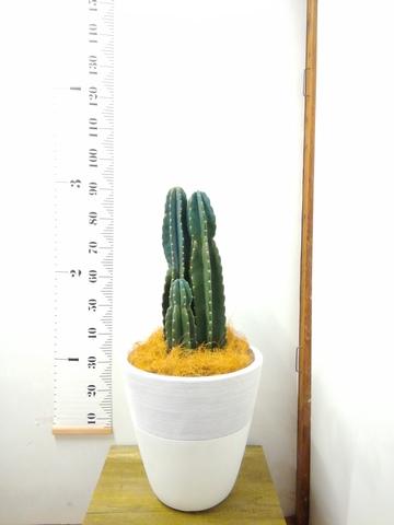観葉植物 柱サボテン 8号 ジュピター 白 付き