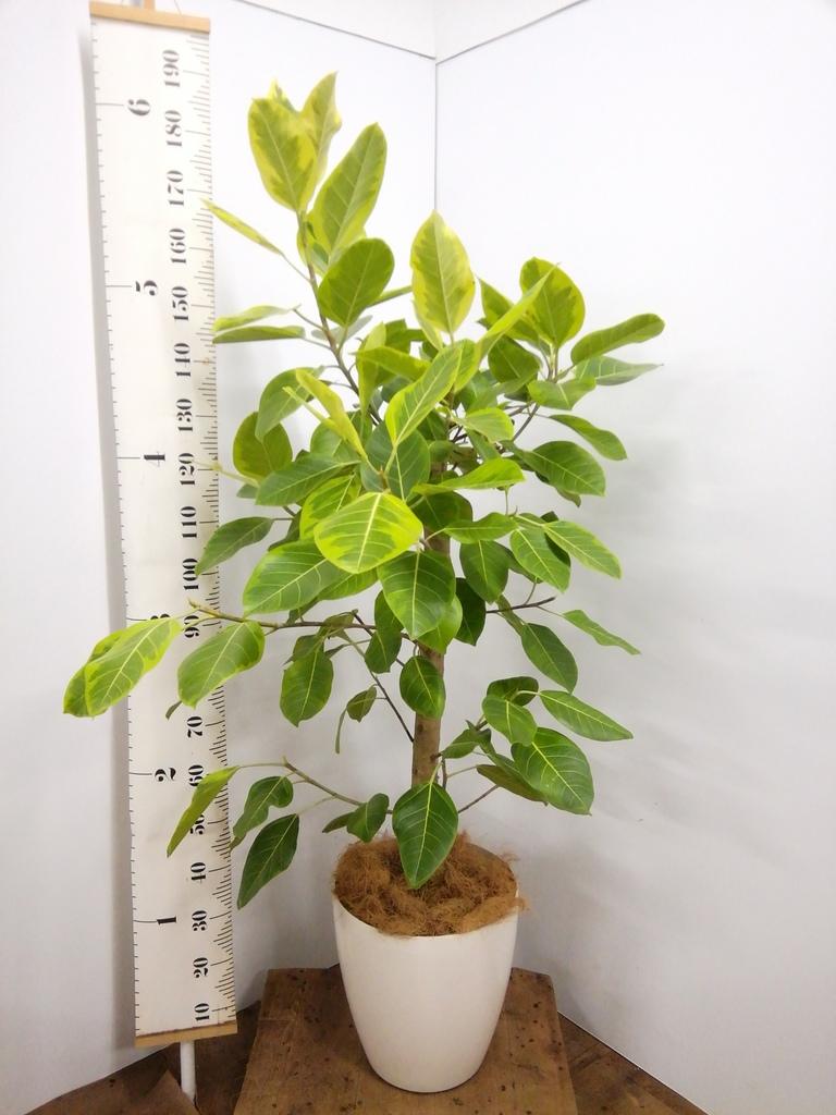 観葉植物 フィカス アルテシーマ 10号 ストレート ラスターポット 付き