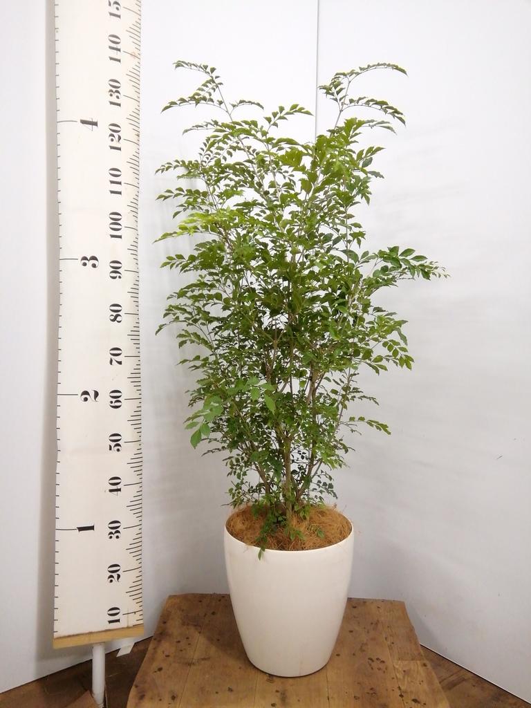 観葉植物 シマトネリコ 8号 ラスターポット 付き