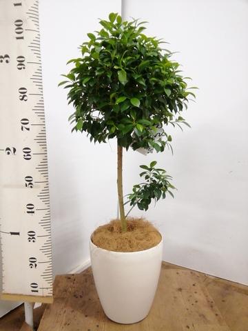 観葉植物 フィカス ナナ 7号 ノーマル ラスターポット 付き