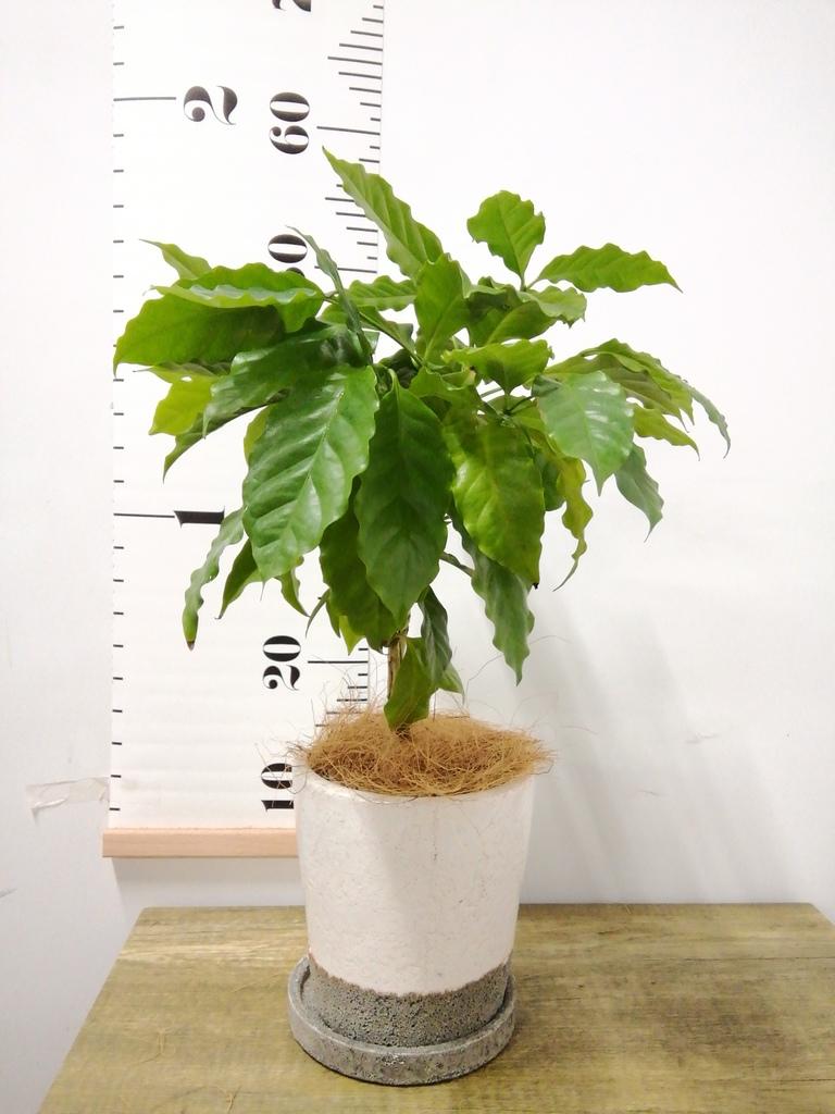 観葉植物 コーヒーの木 4号 ヴィフポット ホワイト 付き