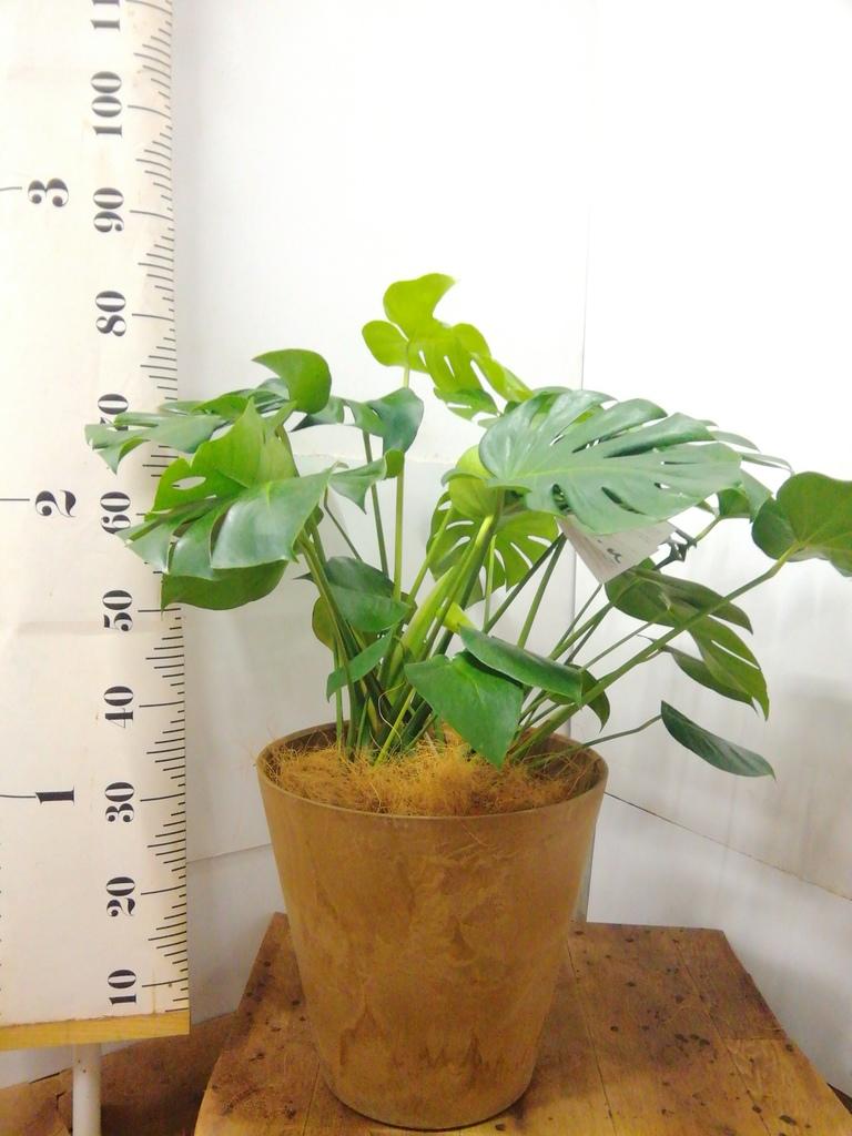 観葉植物 モンステラ 8号 ボサ造り アートストーン ラウンド ベージュ 付き