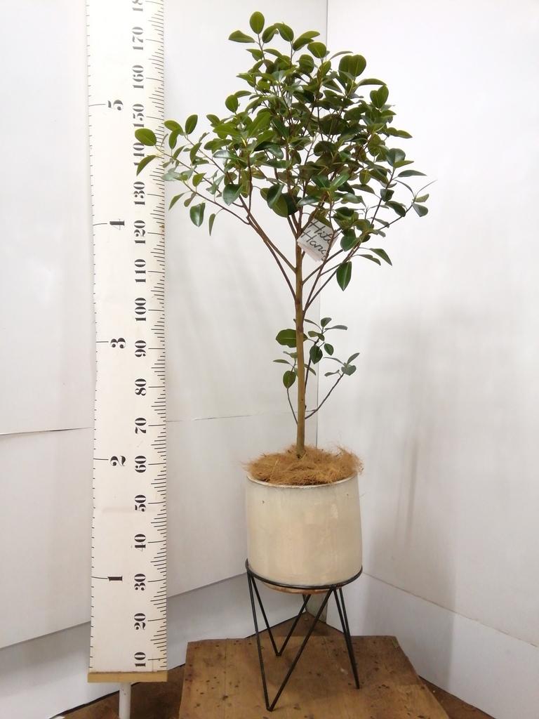 観葉植物 フランスゴムの木 8号 ノーマル ビトロ エンデカ 鉢カバースタンド付 クリーム 付き