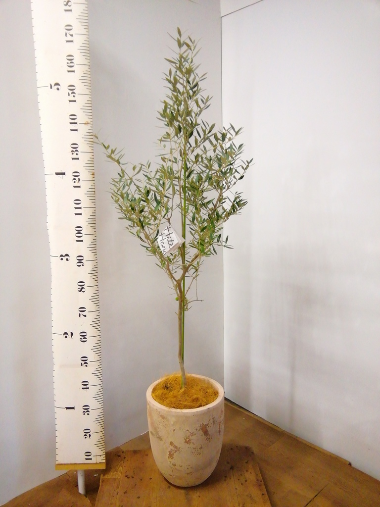 観葉植物 オリーブの木 8号 オヒブランカ ルーガ アンティコ アルトエッグ 付き