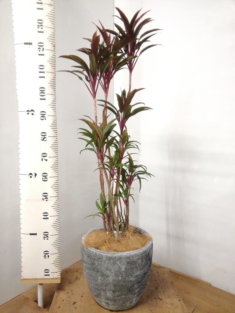 観葉植物 コルディリネ (コルジリネ) ターミナリス 8号 アビスソニアミドル 灰 付き