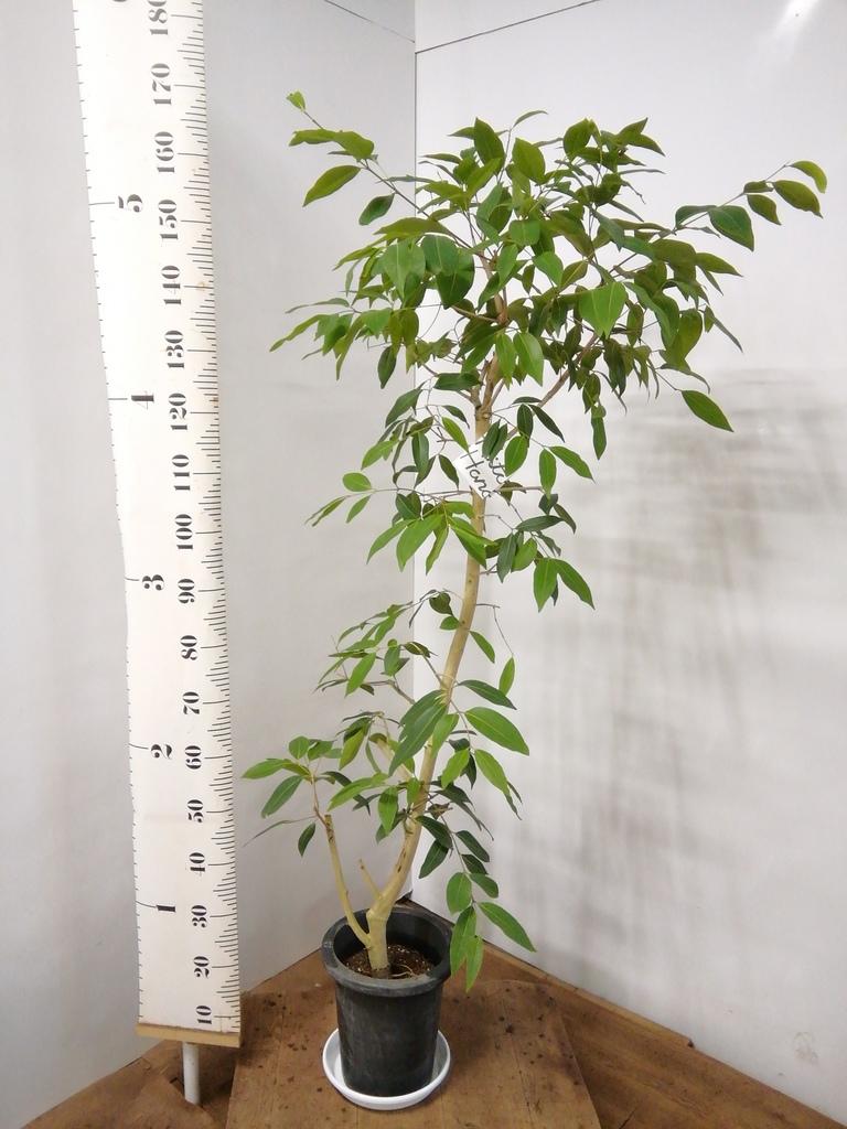 観葉植物 アマゾンオリーブ (ムラサキフトモモ) 8号 プラスチック鉢