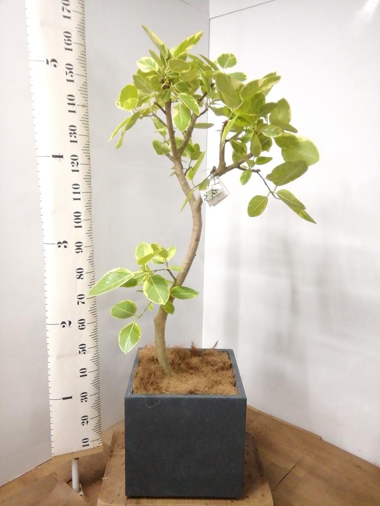 観葉植物 フィカス アルテシーマ 10号 曲り ファイバークレイ キューブ 付き