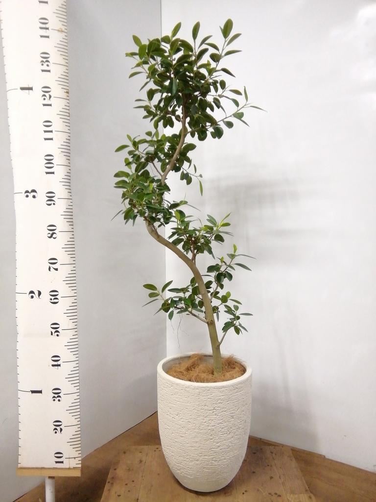 観葉植物 フランスゴムの木 8号 曲り ビアスアルトエッグ 白 付き