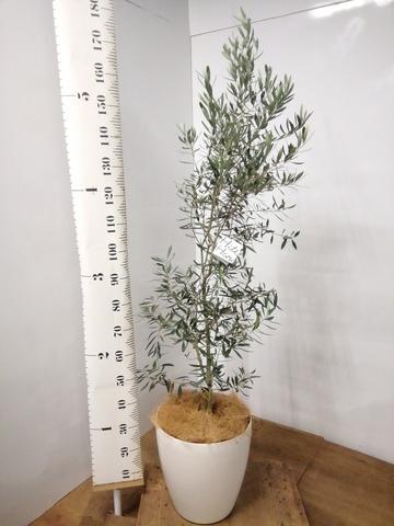 観葉植物 オリーブの木 10号 チプレッシーノ ラスターポット 付き