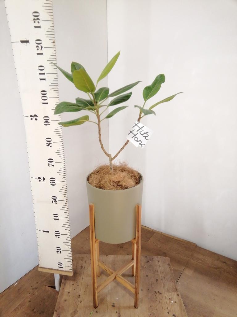 観葉植物 フィカス アルテシーマ 6号 ストレート ホルスト シリンダー オリーブ ウッドポットスタンド付き