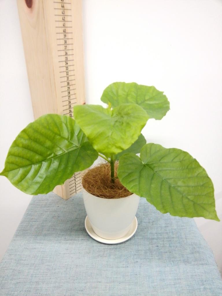 観葉植物 フィカス ウンベラータ 4号 ノーマル ラスターポット 付き