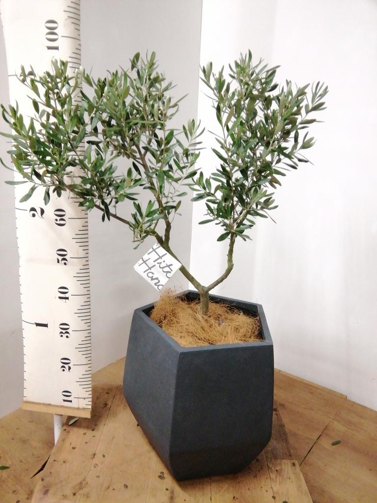 観葉植物 オリーブの木 7号 創樹 ファイバークレイ Gray 付き