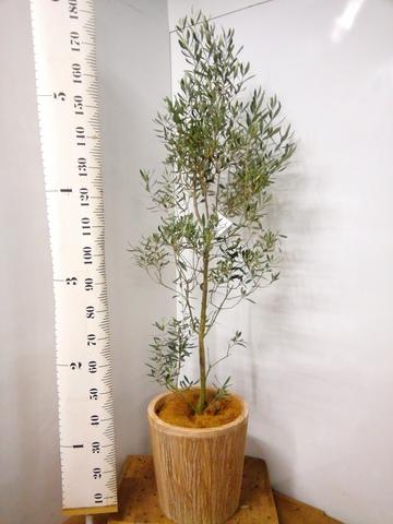観葉植物 オリーブの木 10号 チプレッシーノ ウッドプランター 付き