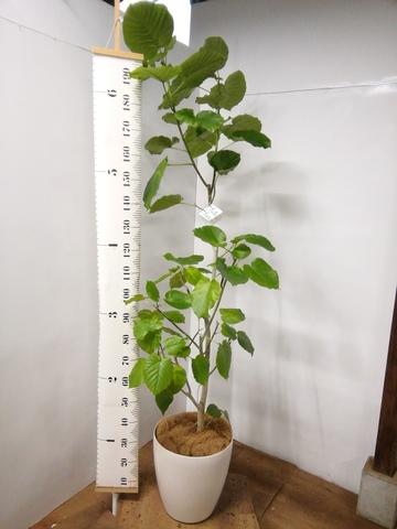 観葉植物 フィカス ウンベラータ 【175cm】 フィカス ウンベラータ 10号 #23215 ラスターポット付き