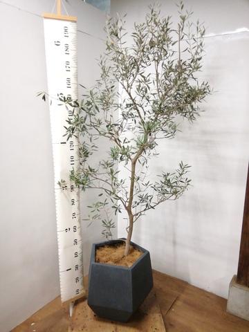 観葉植物 オリーブの木 10号 バロウニ ファイバークレイGray 付き